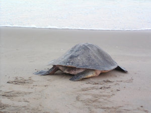 A female olive ridley returns to the sea, perhaps after having laid her clutch at a safe nesting spot.