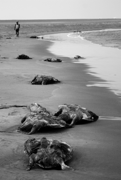 Every years hundreds of dead turtles wash ashore onto the beaches of devi as a result of trawling close to the coastal beaches of Orissa. This picture was taken just before the nesting season began in 2010.